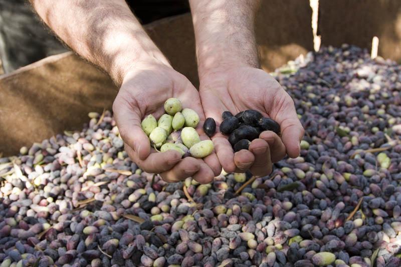 Диета на основе оливкового масла: 2 месяца очищения и оздоровления