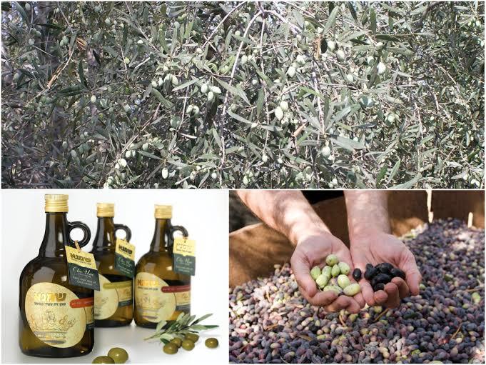 Программа оздоровления и похудения на основе оливкового масла