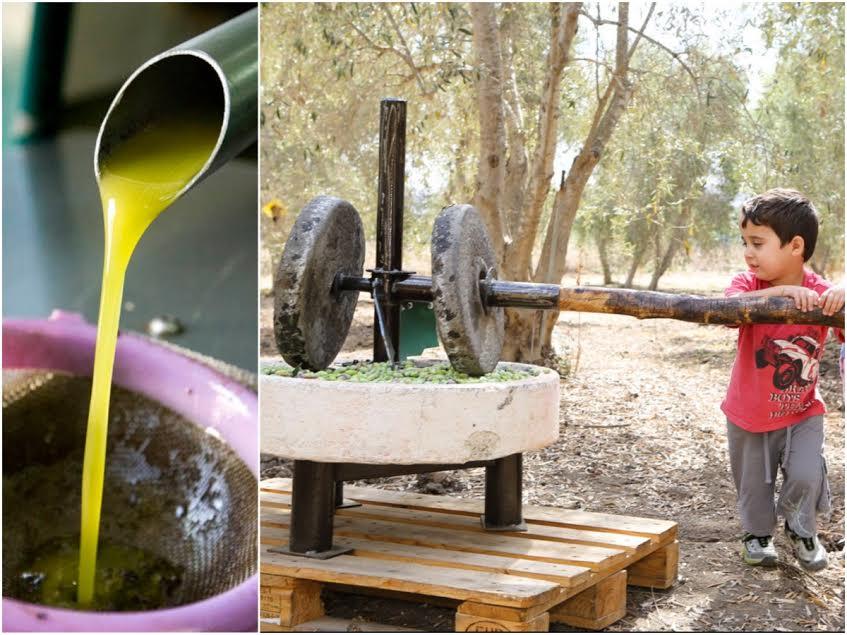 Способы приготовления «домашнего» оливкового масла