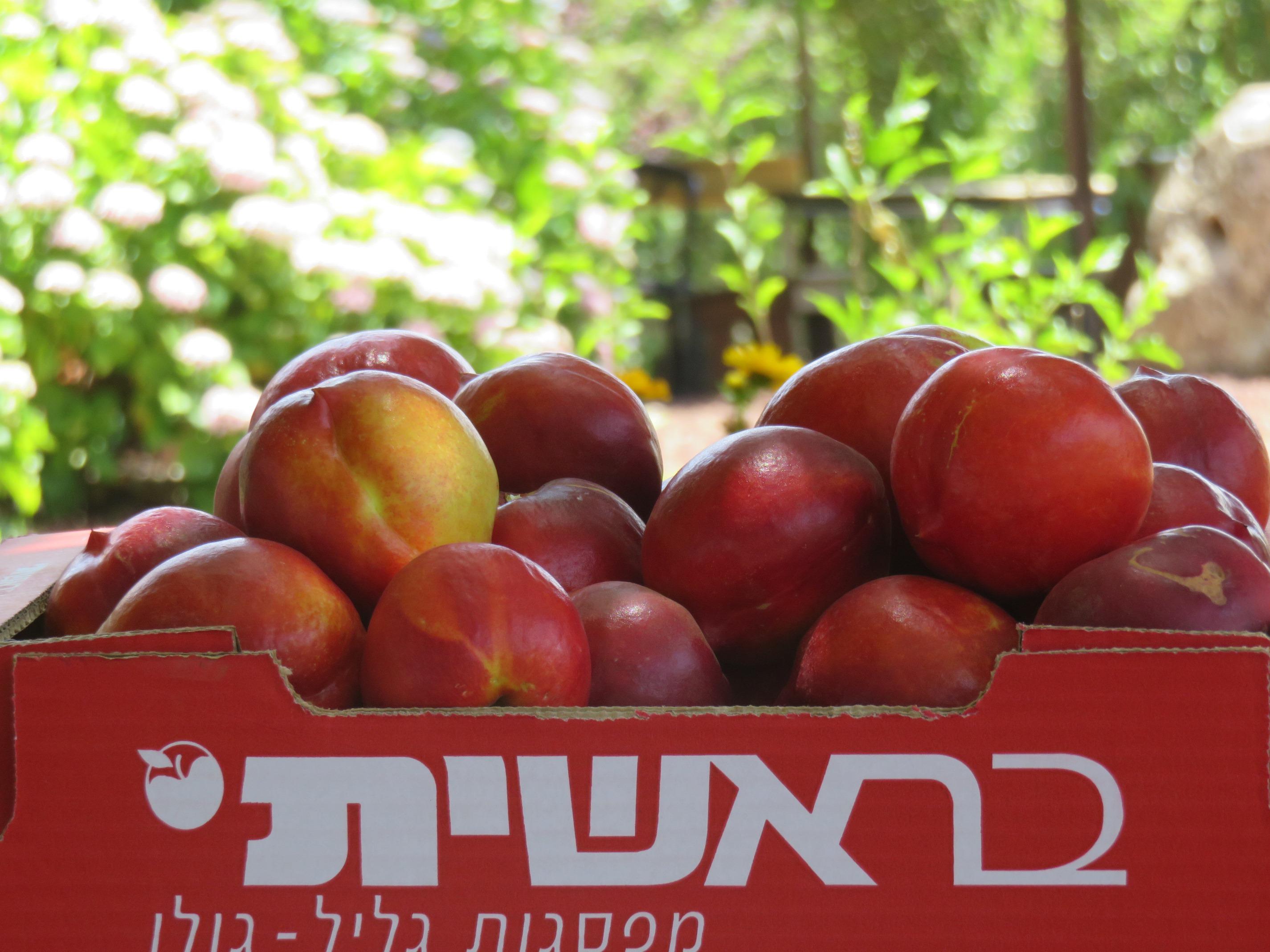 Сбор урожая в саду«Берешит а-Голан»: свежие и спелые нектарины и лесные ягоды – прямо с ветки
