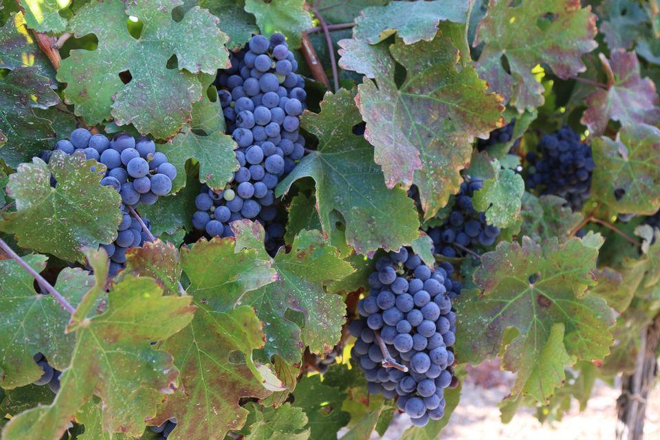 Винодельня «Сегаль» получила две золотых медали на конкурсе «Золотая гроздь -2020»